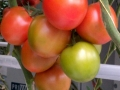 tomater Trbrg