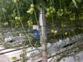 tomatodl. Trbrg 2