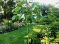 kejsarträd-i-Skivarpsträdgården
