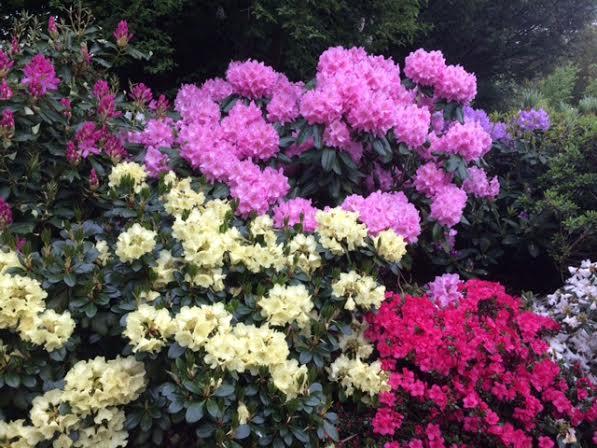 Rododendron från Stures trädgård